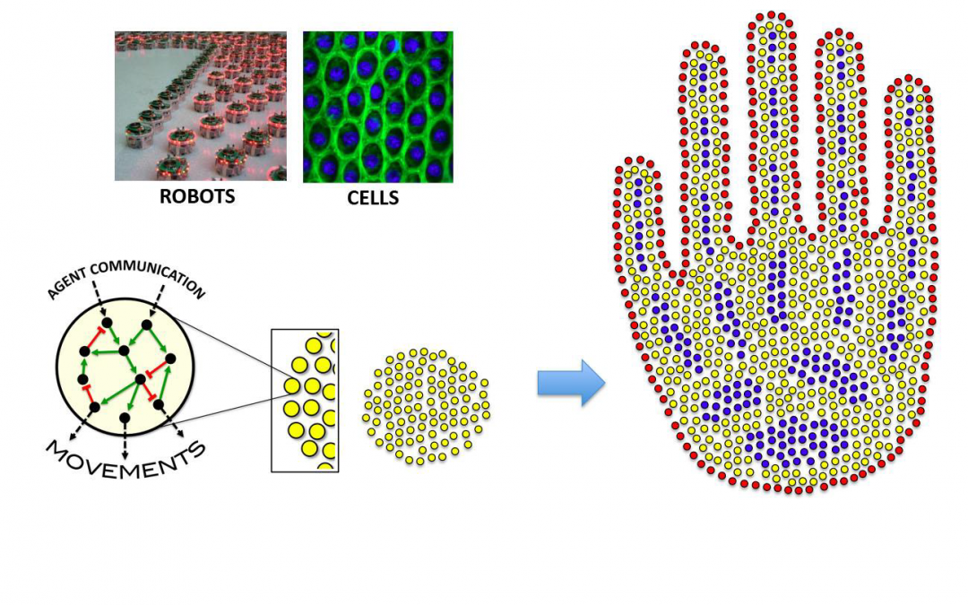 SWARM-ORGAN: Genetically-Programmable Self-Patterning Swarm Organs